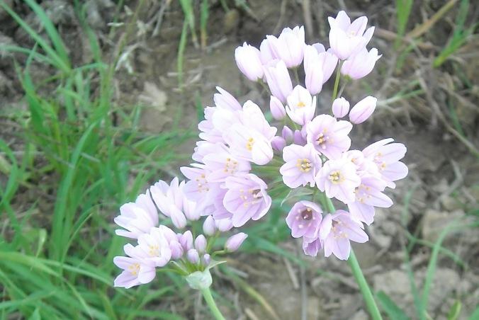AGLIO ROSEO ( Allium roseum )