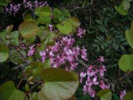albero-di-giuda-cercis-siliquastrum