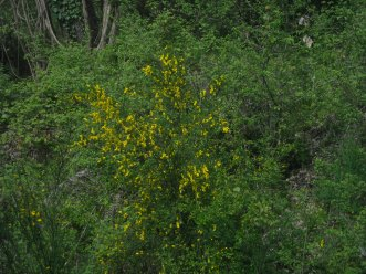 ginestra-spartium-junceum