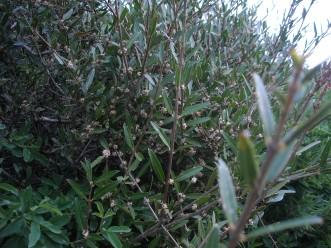 ilatro-sottile-phillyrea-angustifolia